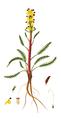 Pedicularis flammea, Flora Danica 1878.png