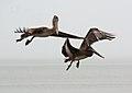 Pelican Pair Three (8261700954) (2).jpg