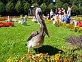 Pelikan im Tierpark.JPG