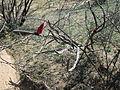 Peniocereus Greggii Sahuarita Arizona 2014.jpg