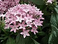 Pentas Cornia from Lalbagh flower show Aug 2013 8261.JPG