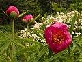 Pfingstrose (Paeonia officinalis) im Alpenpflanzengarten.jpg