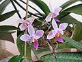 Phalaenopsis equestris 01.JPG