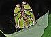 Philaethria dido qtl1.jpg