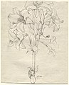 Philipp Otto Runge - A Stalk of Lilies with Six Blooms.jpg
