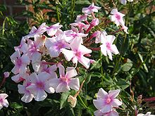 phlox paniculata wikipedia. Black Bedroom Furniture Sets. Home Design Ideas