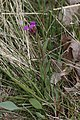 Phoenicaulis cheiranthoides 7843.JPG