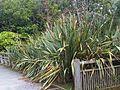 Phormium tenax - wetland 5.jpg