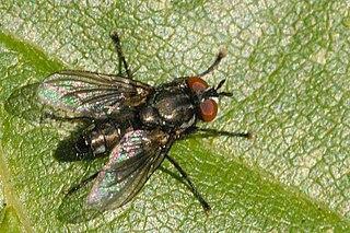 <i>Phorocera</i> Genus of flies