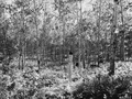 Photograph of Plantation Number 46B in the Washburn Ranger District - NARA - 2129290.tif