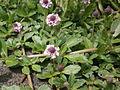 Phyla nodiflora crapia.JPG