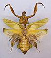 Phyllocrania paradoxa TPopp.jpg