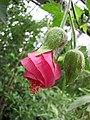Phymosia rosea -哥本哈根大學植物園 Copenhagen University Botanical Garden- (36854298056).jpg