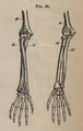 Physiology for Young People - 1884 - Bones of right forearm.png