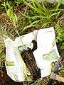Picconia azorica muda.jpg