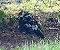 Pied Blackbird. Turdus merula - Flickr - gailhampshire (1).jpg