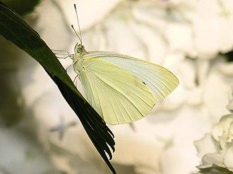 Pieris oleracea - Image of Pieris rapae