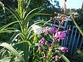 Pieris brassicae, Yakutia, Russia, July 2020 (2).jpg
