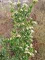 Pieris japonica0.jpg