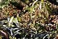 Pieris japonica Forest Flame 0zz.jpg