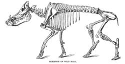 Esqueleto de javali.