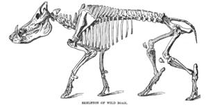 Suina - Boar skeleton