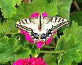 PikiWiki Israel 14386 Swallowtail butterflies.JPG