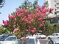 PikiWiki Israel 20890 Lagerstoemia indica.JPG