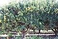 PikiWiki Israel 378 Oranges עץ תפוזים.jpg