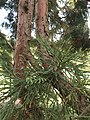 Pinales - Sequoiadendron giganteum - 7.jpg