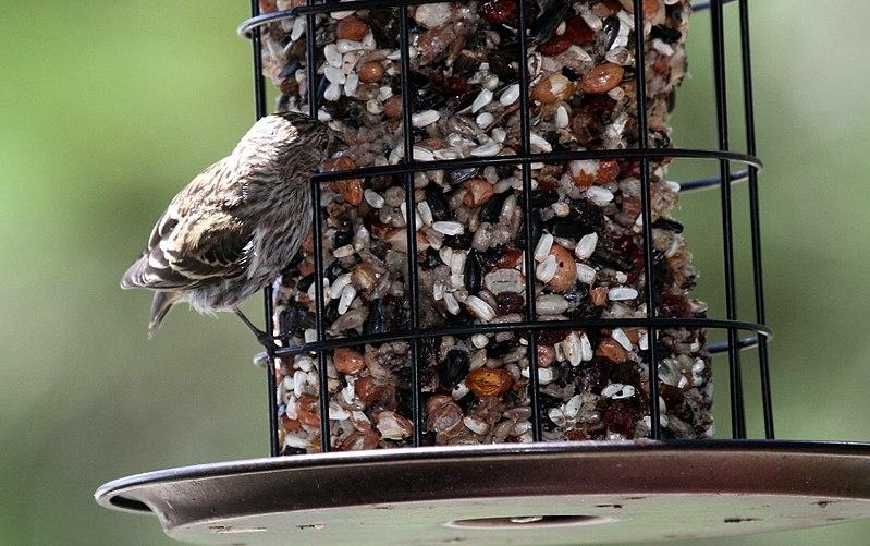 File:Pine Siskin - Flickr - GregTheBusker.jpg