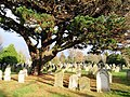 Pine and gravestones, Higher Cemetery, Exeter - geograph.org.uk - 1120100.jpg