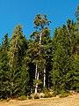 Pines - panoramio (1).jpg