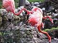 Pink Flamingos - panoramio.jpg