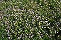 Pink Purslane (Claytonia sibirica) - geograph.org.uk - 1299872.jpg