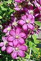 Pink clematis (6043946957).jpg