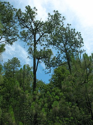 Pinus devoniana in Mexiko