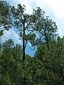 Pinus devoniana forest.jpg