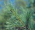 Pinus monticola foliage.jpg
