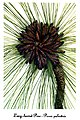 Pinus palustris, by Mary Vaux Walcott.jpg