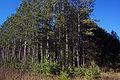 Pinus resinosa NOAA1.jpg