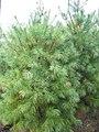 Pinus strobus 19zz.jpg