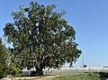 Pioppo canescente (Berra) 7.jpg