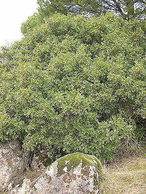 Pistacia lentiscus - Mastic shrub