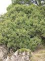 Pistacia lentiscus sp.jpg