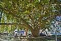 Plátano do Rossio - Portalegre - Portugal (46489073374).jpg