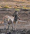 Plains Zebras (Equus quagga burchellii) mare and foal ... (32763298000).jpg