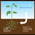 Plant Fixing Nitrogen.png
