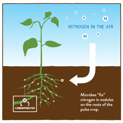 nitrogen fixing bacteria essay Read this full essay on nitrogen fixing bacteria nitrogen is essential for all life  on this planet, but most of it is in the air, making up about 78% of the.