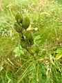 Plant Lunga.jpg